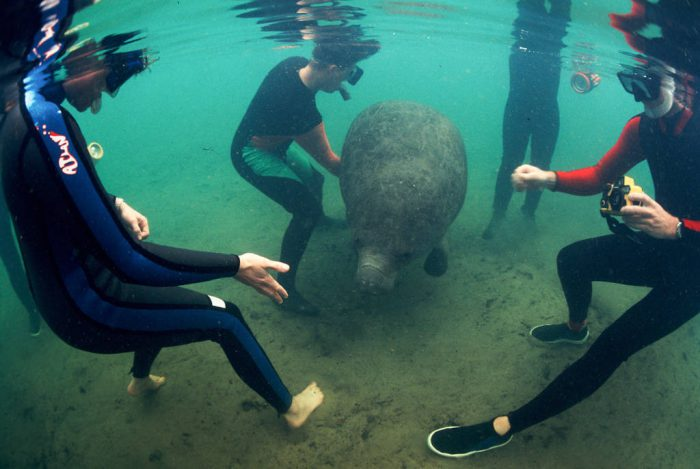 Photo: Endangered Florida manatee in the wild, with divers.