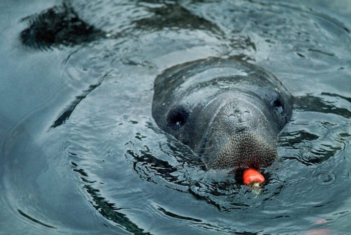 Photo: Endangered Florida manatee munches on a carrot from his caretakers at Sea World in Orlando, FL. Injuries from boat's propellers are a leading threat to this species' survival.