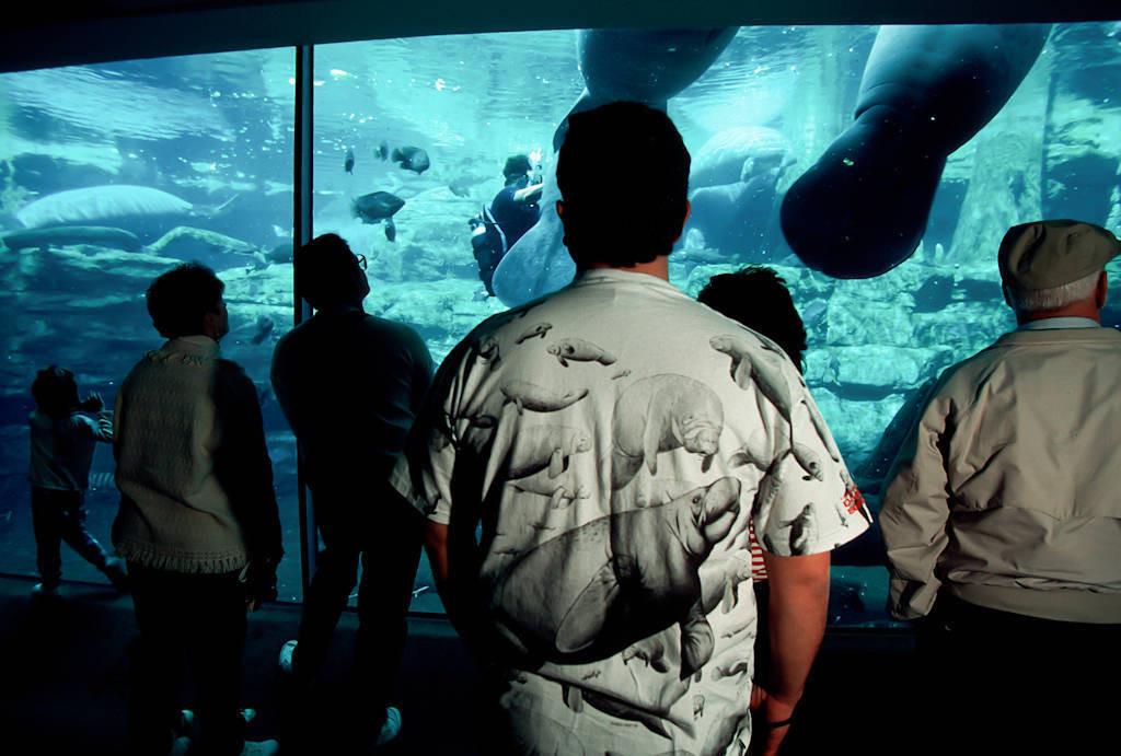 Photo: Tourists watch endangered Florida manatees at Sea World in Orlando, FL.