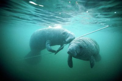 Photo: Florida manatees swim in a warm spring in Crystal River, Florida.