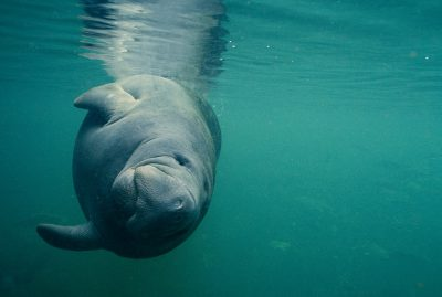 Photo: Endangered Florida (or West Indian) manatee shown in the wild.