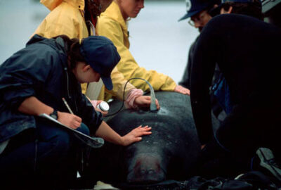 Photo: Biologists capture endangered Florida manatees to do blood work and tagging at Apollo Beach, Florida.