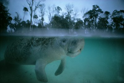 Photo: The endangered Florida manatee near Crystal River, Florida.