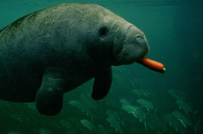 Photo: A manatee (Trichecus manatus) feeds on a carrot.