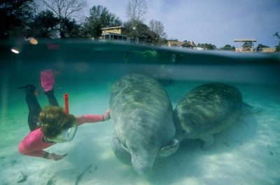 A snorkeler reaches out to a vulnerable (IUCN) and federally endangered manatee (Trichechus manatus) in Florida.