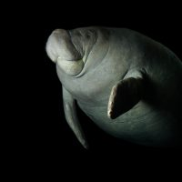 Picture of a vulnerable (IUCN) and federally endangered antillean manatee (Trichechus manatus manatus) at the Dallas World Aquarium.