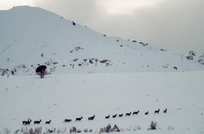 Photo: Deer wade through the snow along a county road south of Cedarville, CA.