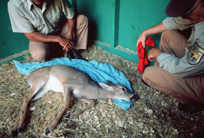 Photo: Workers at the Key Deer NWR in Florida with an endangered Florida Key Deer.
