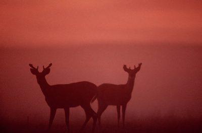Photo: White-tailed deer on the prairie at Fort Niobrara NWR near Valentine, Nebraska.