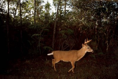 Photo: The endangered Florida Key deer's cause wasn't helped when developers found a loophole and put a housing development inside the Florida Key Deer NWR. The deer are hit and killed by motorists faster than they can reproduce.