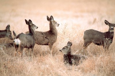 Photo: Mule deer outside the old arsenal building at Rocky Mountain Arsenal NWR in Colorado.