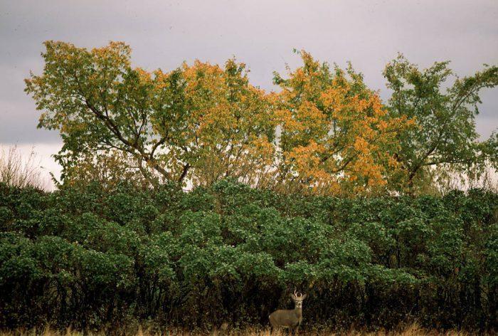 Photo: Deer on J. Clark Salyer NWR in North Dakota.