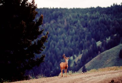 Photo: Mule deer in the Salmon National Forest (Idaho).