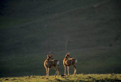 Photo: Mule deer in Yellowstone National Park's Lamar Valley.