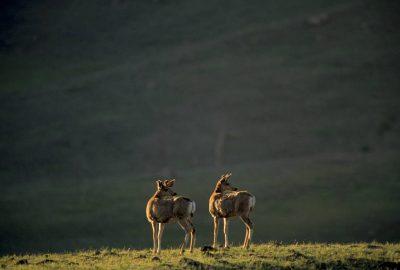 Photo: Mule deer in Yellowstone National Park's Lamar Valley.