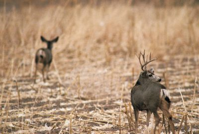 Photo: Mule deer at Bosque del Apache NWR, New Mexico.