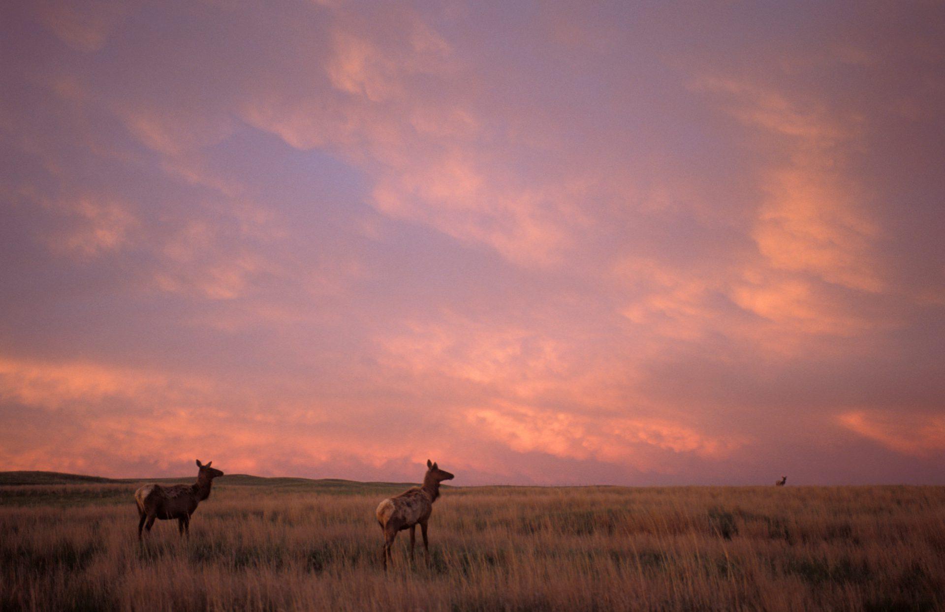 Photo: White-tailed deer roam through prairie grass as the sun sets.