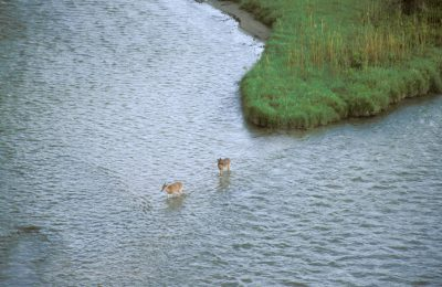 Photo: White-tailed deer cross the Niobrara River near Valentine, NE.