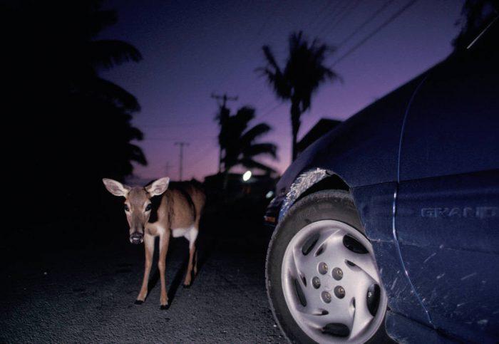 Photo: Florida Key deer caught in headlights in Big Pine Key, Florida.