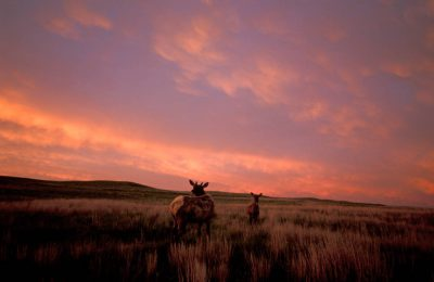 Photo: White-tailed deer roam through prairie grass as the sun sets.
