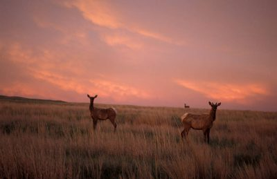 Photo: Elk roam the Fort Niobrara National Wildlife Refuge at dawn.