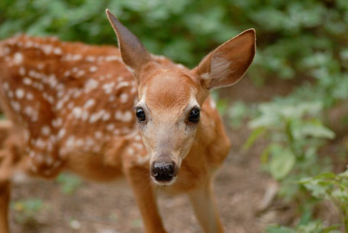 Photo: A fawn at a wildlife rescue member's home in Eastern Nebraska.