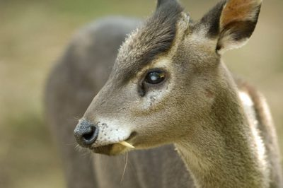 Picture of a western tufted deer (Elaphodus cephalophus) at the Sunset Zoo in Manhattan, KS.