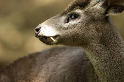 Picture of a western tufted deer (Elaphodus cephalophus) at the Sunset Zoo in Manhattan, Kansas.