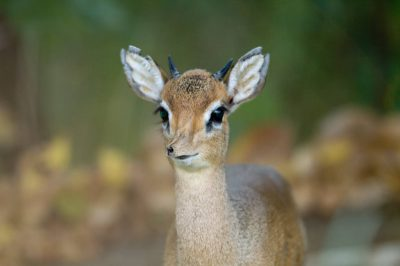 Photo: A dik dik (Madoqua kirkii) at the Kansas City Zoo.