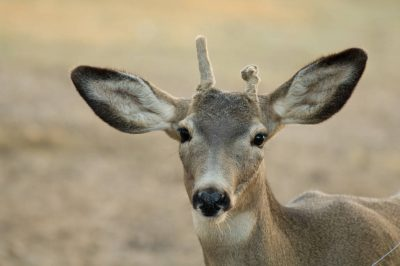 Photo: A mule deer (Odocoileus hemionus) at the Riverside Zoo in Scottsbluff, Nebraska.