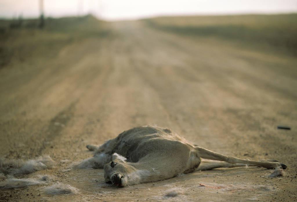 Photo: Road-killed deer near Darouzett, Texas.
