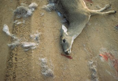 Photo: Road-killed deer near Darouzett, Texas.