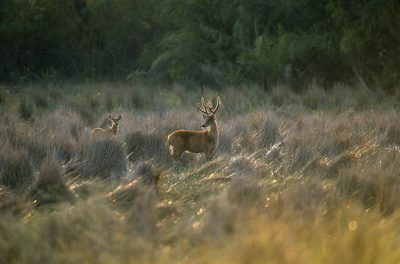 Photo: Marsh deer (Blastocerus dichotomus) forage in grassland in Brazil's Pantanal region.