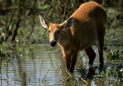Photo: A marsh deer (Blastocerus dichotomus) forages in Brazil's Pantanal region.
