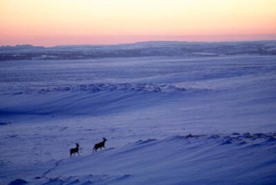 A pair of white tail deer (Odocoileus virginianus) crossing a snow-covered plain at sunrise.