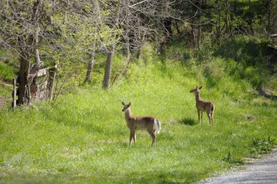 Two white tail deer (Odocoileus virginianus) standing along the Steamboat Trace trail near Nebraska City, Nebraska.