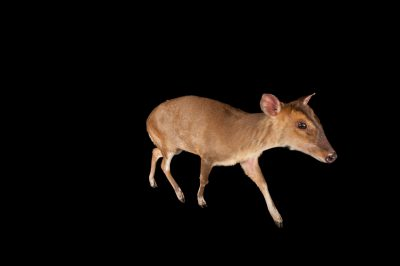 A Reeve's Muntjac (Muntiacus reevesi) at the Lincoln Children's Zoo.