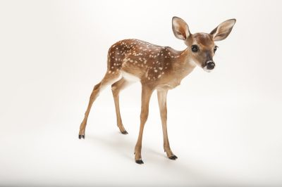 Photo: A three-week-old white-tailed deer fawn at the Gladys Porter Zoo.