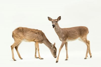 Picture of a pair of Texas white-tailed deer (Odocoileus virginianus texanus) at the Caldwell Zoo in Tyler, Texas.