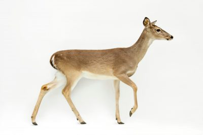 Picture of a Texas white-tailed deer (Odocoileus virginianus texanus) at the Caldwell Zoo in Tyler, Texas.