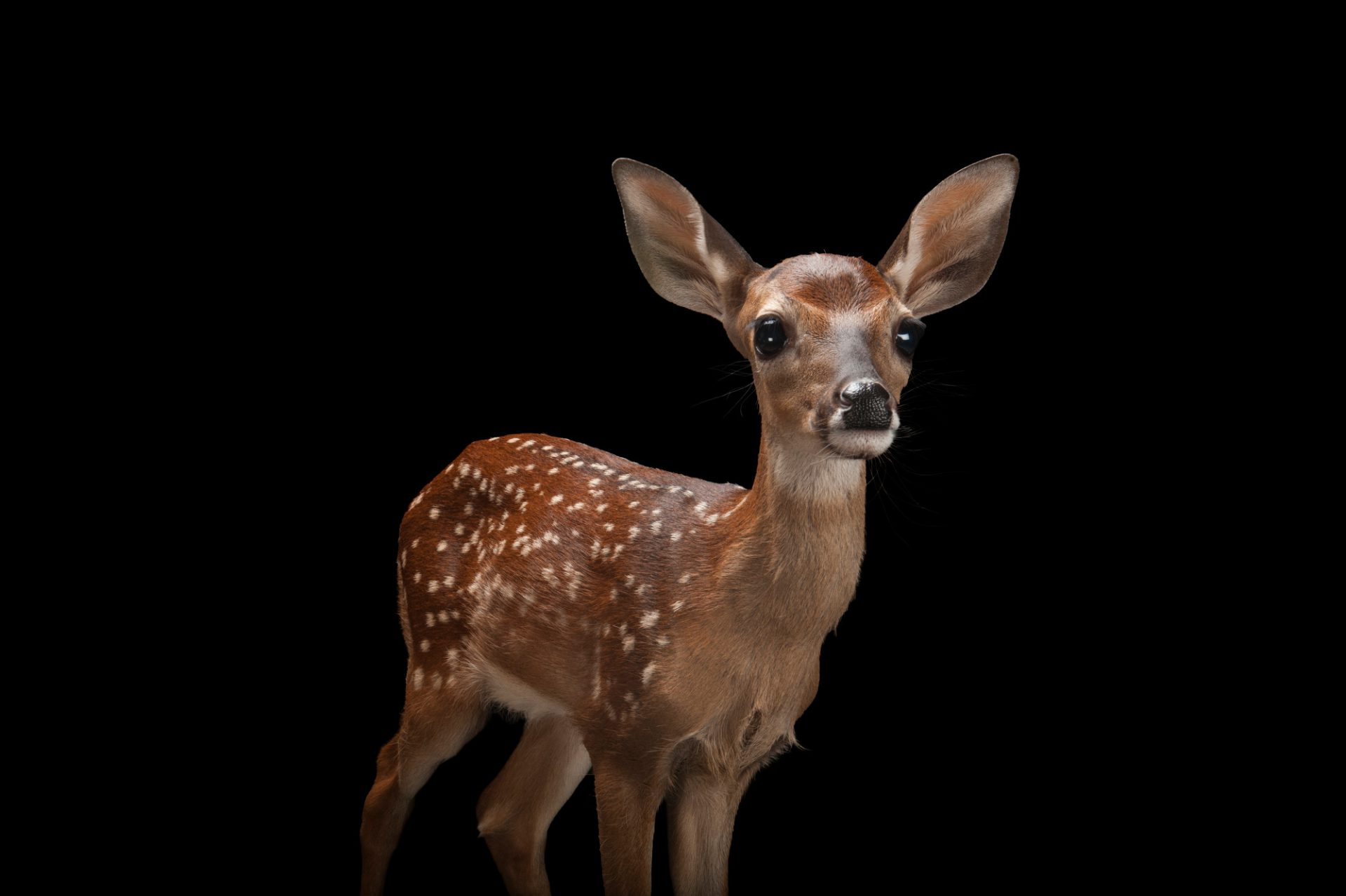 A three-week-old white-tailed deer fawn (Odocoileus virginianus) at the Gladys Porter Zoo in Brownsville, Texas.