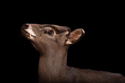 Picture of a tufted deer (Elaphodus cephalophus) at Omaha Zoo's Wildlife Safari Park.