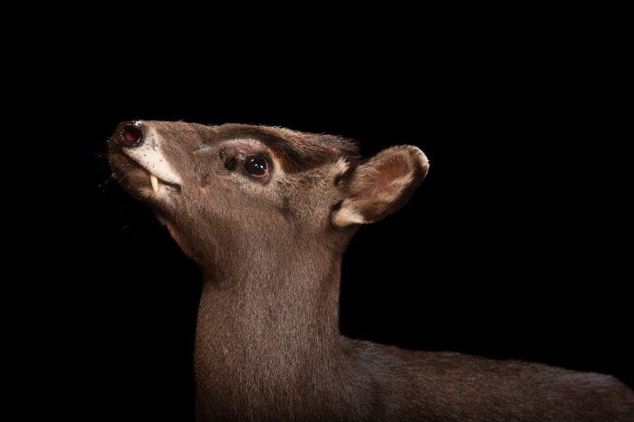 Picture of a tufted deer (Elaphodus cephalophus) at Omaha Zoo's Wildlife Safari Park.