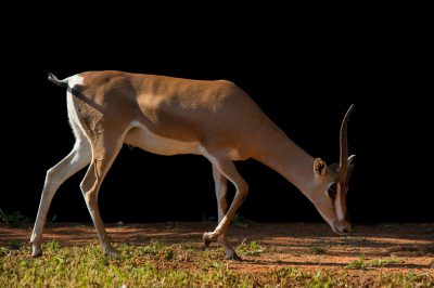 Picture of a Grant's gazelle (Nanger granti granti) at the Oklahoma City Zoo.