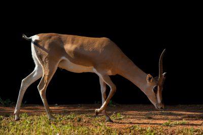 Picture of a Grant's gazelle (Nanger granti granti) at the Oklahoma City Zoo.