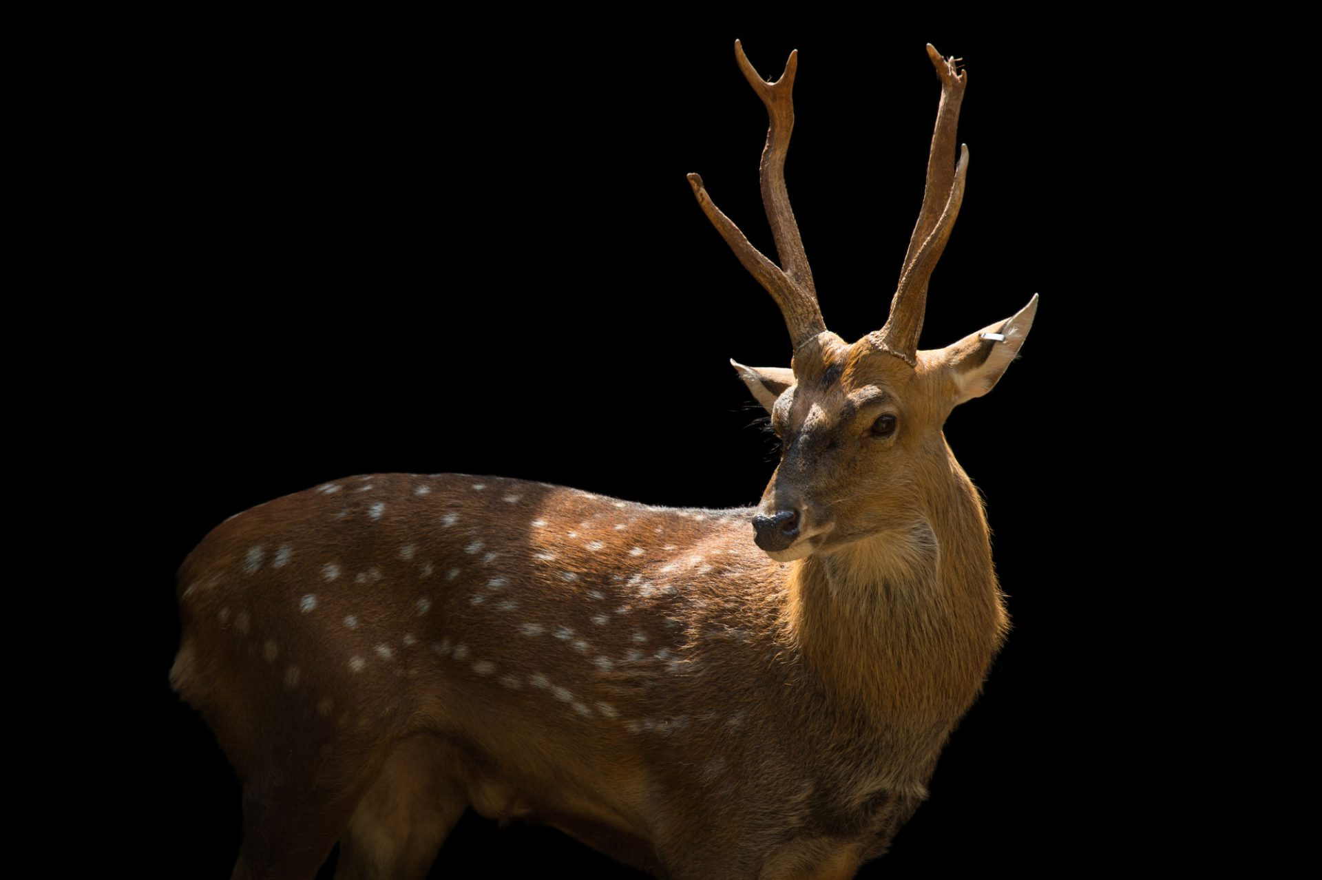Picture of a Vietnamese sika deer (Cervus nippon pseudaxis) at the Oklahoma City Zoo.