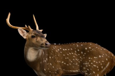 Photo: A chital (Axis axis) at the Kamla Nehru Zoological Garden in Ahmedabad, India.