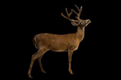 Picture of a Texas whitetail deer named 'Sonny' (Odocoileus virginianus texanus) at the Oklahoma City Zoo.