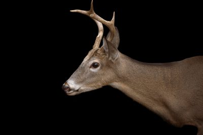Picture of Bucky, an Avery Island white-tailed deer (Odocoileus virginianus mcilhennyi) at the Ellen Trout Zoo in Lufkin, TX.