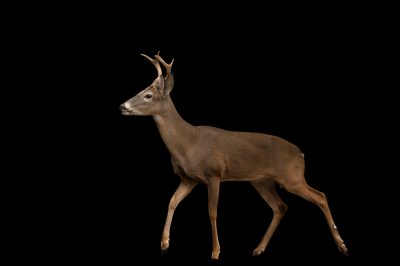 Picture of Bucky, a white-tailed deer (Odocoileus virginianus mcilhennyi) at the Ellen Trout Zoo in Lufkin, TX.